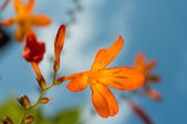 Orange flower from the garden  — Stock Photo