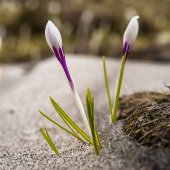 Spring Crocus in Snow — Stock Photo