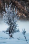 Small tree frosted in the snow  — Foto de Stock