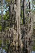 Bald Cypress Trees — Stock Photo