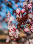 Japanese plum flowers — Stock Photo