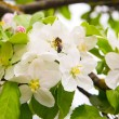 Photo of blossoming tree brunch with white flowers with bee — Stock Photo #70657281
