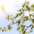 Photo of blossoming tree brunch with white flowers — Stock Photo #70657329