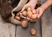 Old man hand with Fresh harvested potatoes with soil still on sk — Stock Photo
