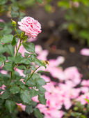 One, alone, beautiful pink rose in a garden — ストック写真