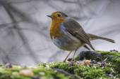 European Robin — Stock Photo