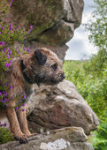 Border Terrier — Stock Photo