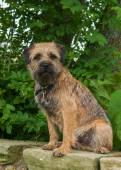 Border Terrier — Stock Photo