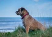 Border Terrier Dog — Stock Photo