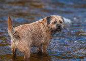 Border Terrier Dog standing in a stream. — Stock Photo