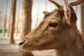 Closeup of fallow deer face — Stock Photo