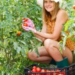 Woman Harvesting Tomatoes — Stock Photo #52474927