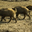 Young Wild boars — Stock Photo #58011137