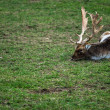 Fallow deer lying — Stock Photo #58019293