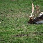Fallow deer lying — Stock Photo #58019293