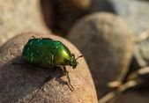 Big green beetle — Stock Photo