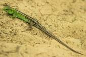 Sand lizard — Stock Photo