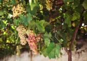 Druiven in Naxos, Griekenland. — Stockfoto