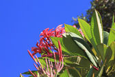 Pink plumeria flowers — Stock Photo