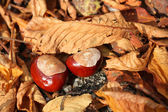 Horse chestnuts in leaves — Stock Photo