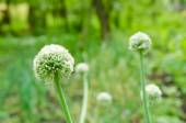 Onion flower with a green fresh background — Stock Photo