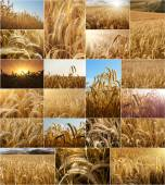 Wheat fields collage — Stock Photo