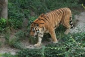 A Tiger in China — Stock Photo