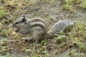 Striped palm squirrel — Stock Photo