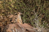 Meerkats of the Kalahari — Stock Photo
