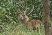 Axis Deer in the jungles of Nepal — Stock Photo