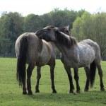 Tarpan Wild Horses — Stock Photo #76613619