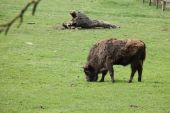 The European Bison on a Meadow — Stock Photo