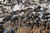 Uszczelki na plaży Południowej Afryki — Zdjęcie stockowe