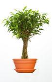 Ficus — Stock Photo