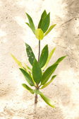 Young mangrove tree — Stock Photo