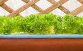 Fresh green lettuces — 图库照片