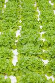 Fresh green lettuces — Stock Photo
