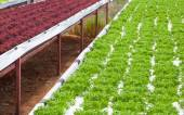 Fresh green and red lettuces — Stock Photo
