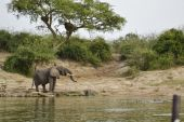 Elephant in the african savannah — Stockfoto