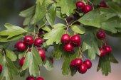Frutos rojos en el jardín — Foto de Stock