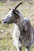 Cabra en la granja — Foto de Stock