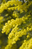 Mimosa in bloom — Stock Photo