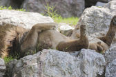 Lion sleeping supine — Stock Photo