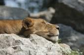 Lioness sleeping — Stock Photo