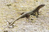 Lizard on the rock — Stock Photo