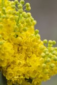 Mahonia aquifolium — Stock Photo