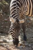 Zebra in the forest — Stock Photo