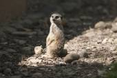 Meerkat in the forest — Stock Photo