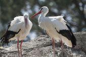 Storks in the farn — Stock Photo