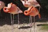 Phoenicopterus ruber ruber red flamingo — Stock Photo
